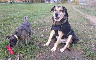 Frank, Schäferhundmischling, geboren 2011