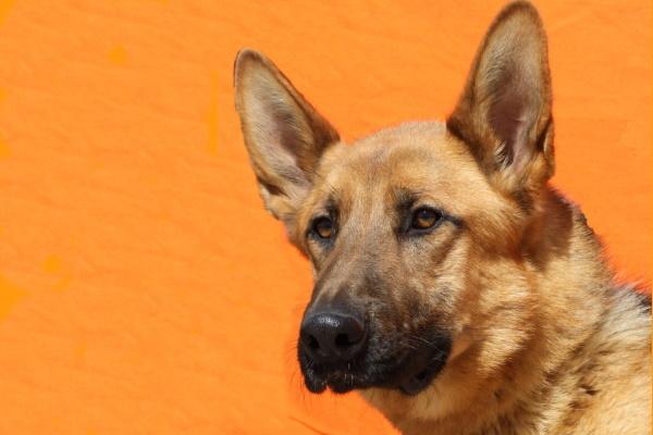 Lucho ♂ Schäferhund – Tierheim PROA Madrid – Geboren März 2019