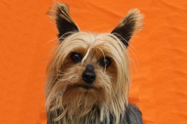 (NZ) Maggie ♀ Yorkshire-Terrier – Tierheim PROA Madrid – Geboren 2009