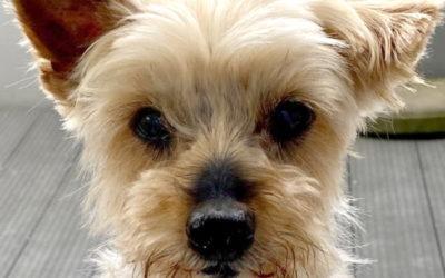Carlos, Yorkshire Terrier, geboren 2007