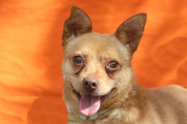Tito ♂ Chihuahua-Mix  – Tierheim PROA Madrid – Geboren 2015